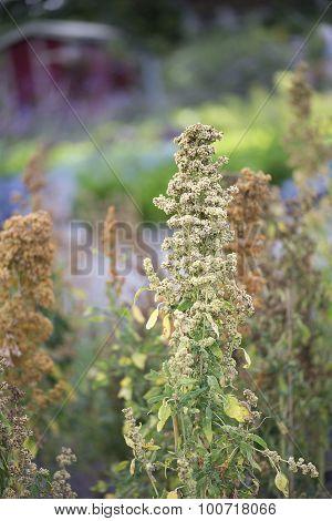 Quinoa-Chenopodium quinoa - Campesino