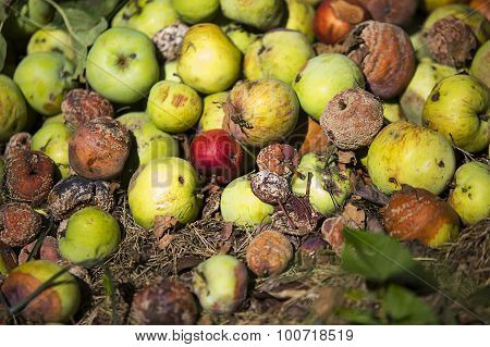 Pile Of Rotten Apples