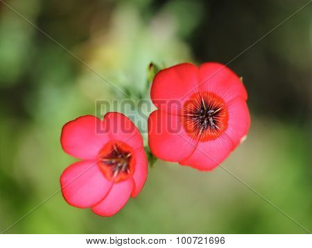 Two Scarlet Flax Flowering.