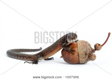 Forest Lizard And Acorn