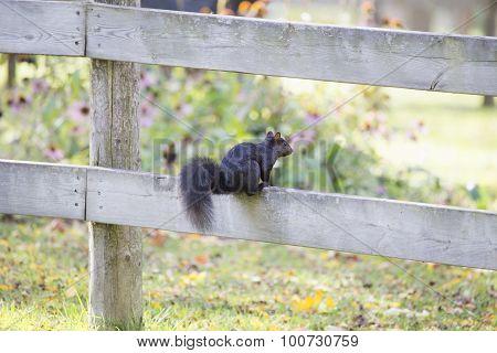 Black Squirrel on Fence - Sciurus carolinensis