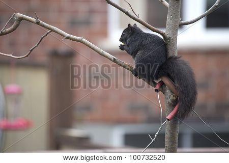 Black Squirrel - Sciurus carolinensis