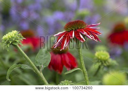 Echinacea - Salsa Red