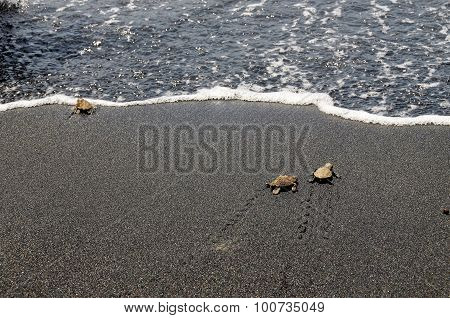 Baby Turtles Walk To Ocean After Hatching