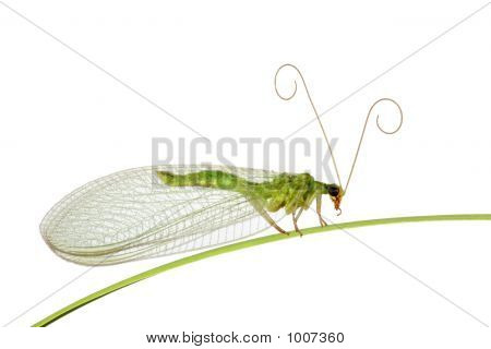 Green Midge On A Grass