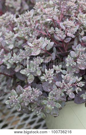Sedum - Dazzleberry