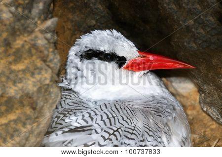 Bosun Bird In Nest