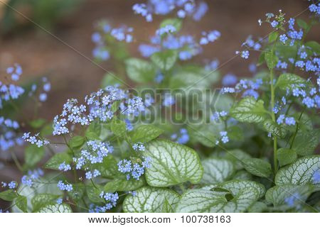 Siberian Bugloss - Jack Frost