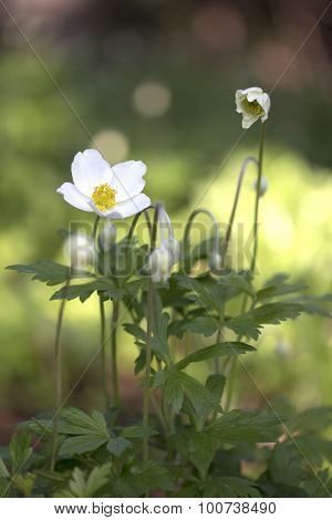 Anemone - Snowdrop Windflower