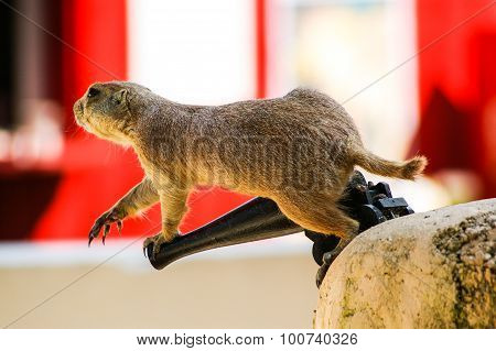Prairie dog on toy cannon