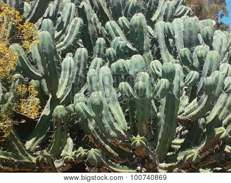Bilberry Cactus or Blue Candle