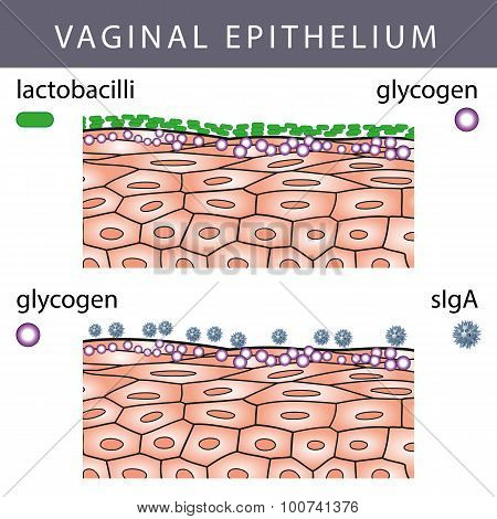 Vaginal Epithelium With Glycogen