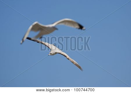 Detail of two seagulls in flight over blue sky