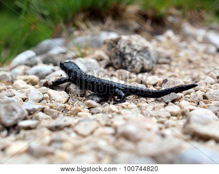Black Salamader On Pebbles