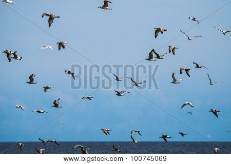 Flock of Seagulls over Baltic Sea