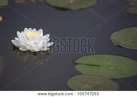 White Waterlily On Dark Pond