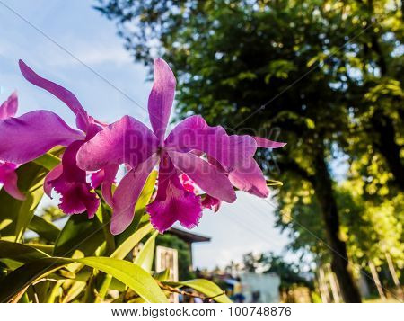 Cattleya Pink Orchid