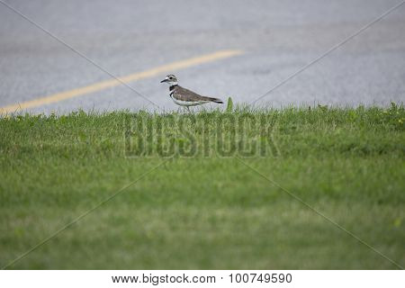 Plover On Grass