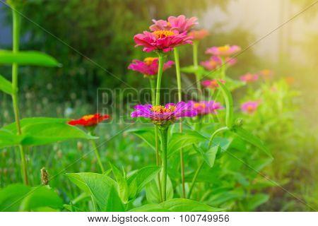 Zinnia Flowers.