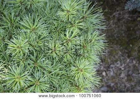 Pinus Strobus Greg
