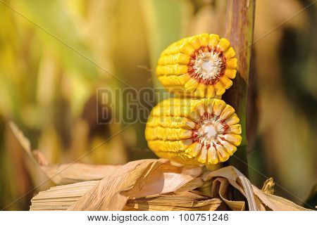 Ear Of Corn Cross Section