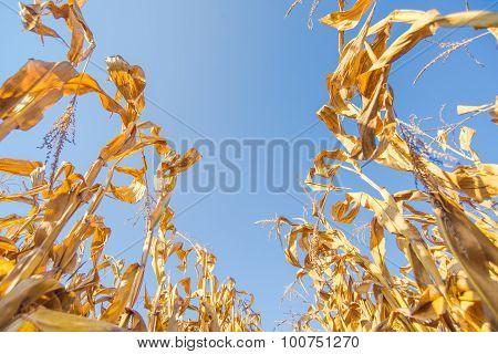 Harvest Ready Corn Field, Low Angle