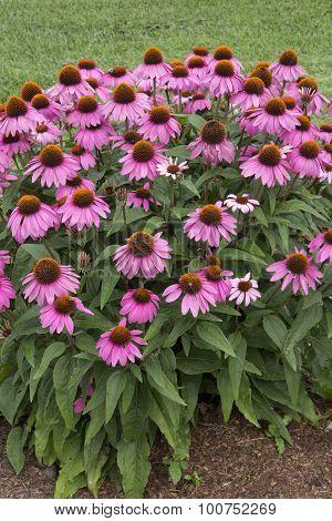 Echinacea - Powwow - Wild Berry