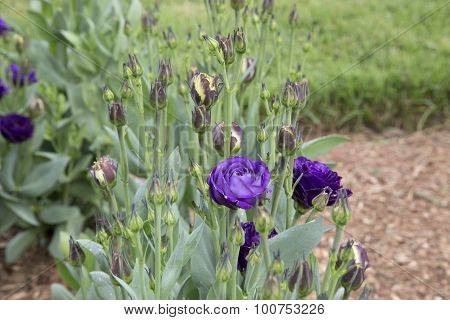 Eustoma - Doublini - Blue