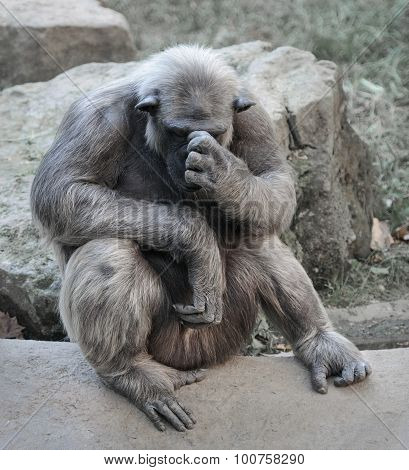 Old Chimpanzee Deep In Thoughts Or Grief
