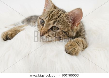 European Domestic Cat (3 Months Old)