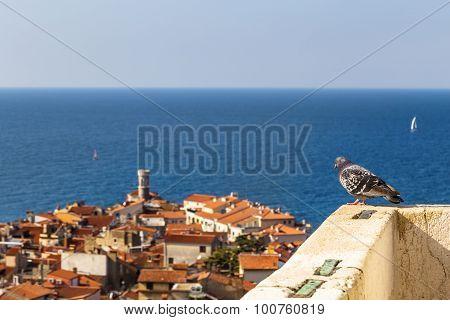 Pigeon watching Piran