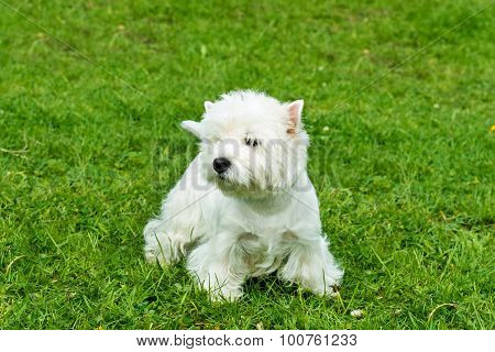 West Highland White Terrier stands.