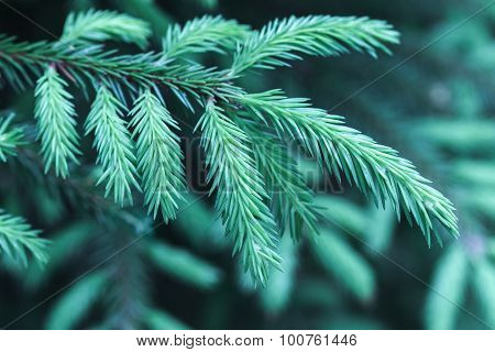 Spruce Branch, Macro Photo With Selective Focus
