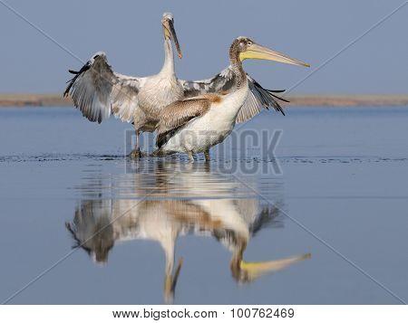 Two Dalmatian Pelicans