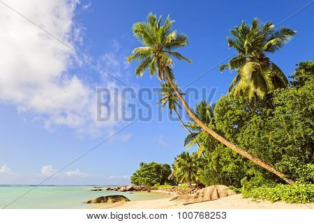 Coconut Palm Tree On The Sandy Beach In Mahe Island, Seychelles