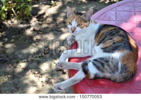 Kubeti, sleepy cat