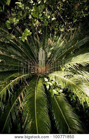 Beautiful Sago Palm Plant In Early Spring