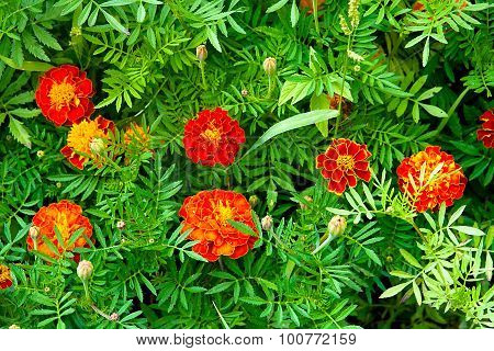 Blooming Marigolds (tagetes) In The Garden.