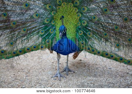 Peacock spreads its tail feathers
