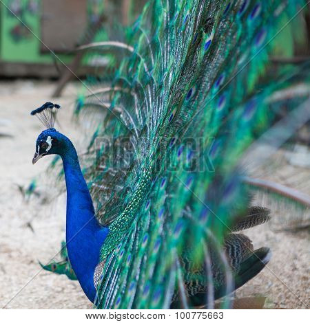 Beautiful peacock and its beautiful tail feathers
