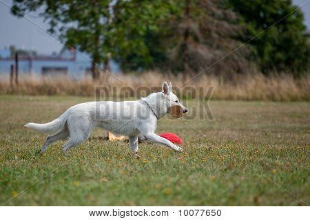 White Swiss Shepherd Running With Aport