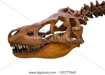 Tyrannosaurus Rex Skeleton Skull Isolated On White Background