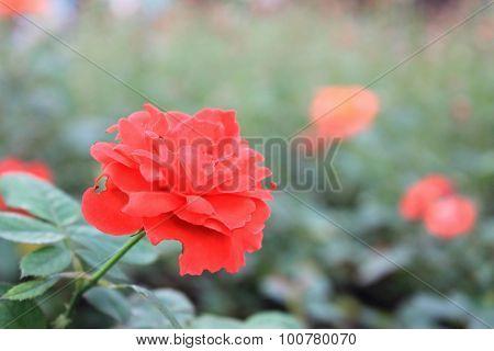 Rose flowers bloossom in Tao Dan park, Vietnam