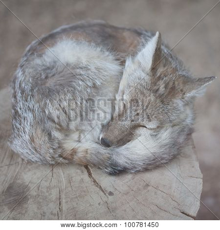 Cute small fox