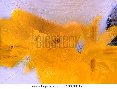 Frozen   Flower Of  Iris