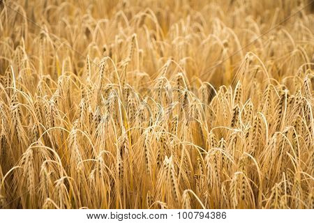 golden wheat field for harvest season
