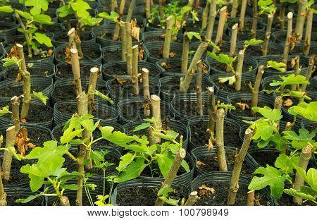 Fig Seedlings In Nursery Bags