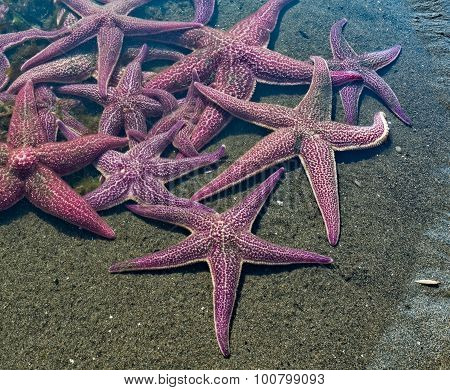 Gaggle Of Sea Stars