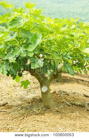 Plantation Of Fig Trees