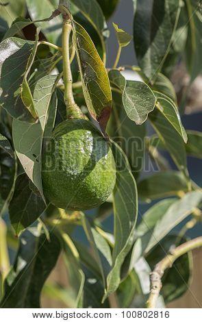 Avocado grows on a tree